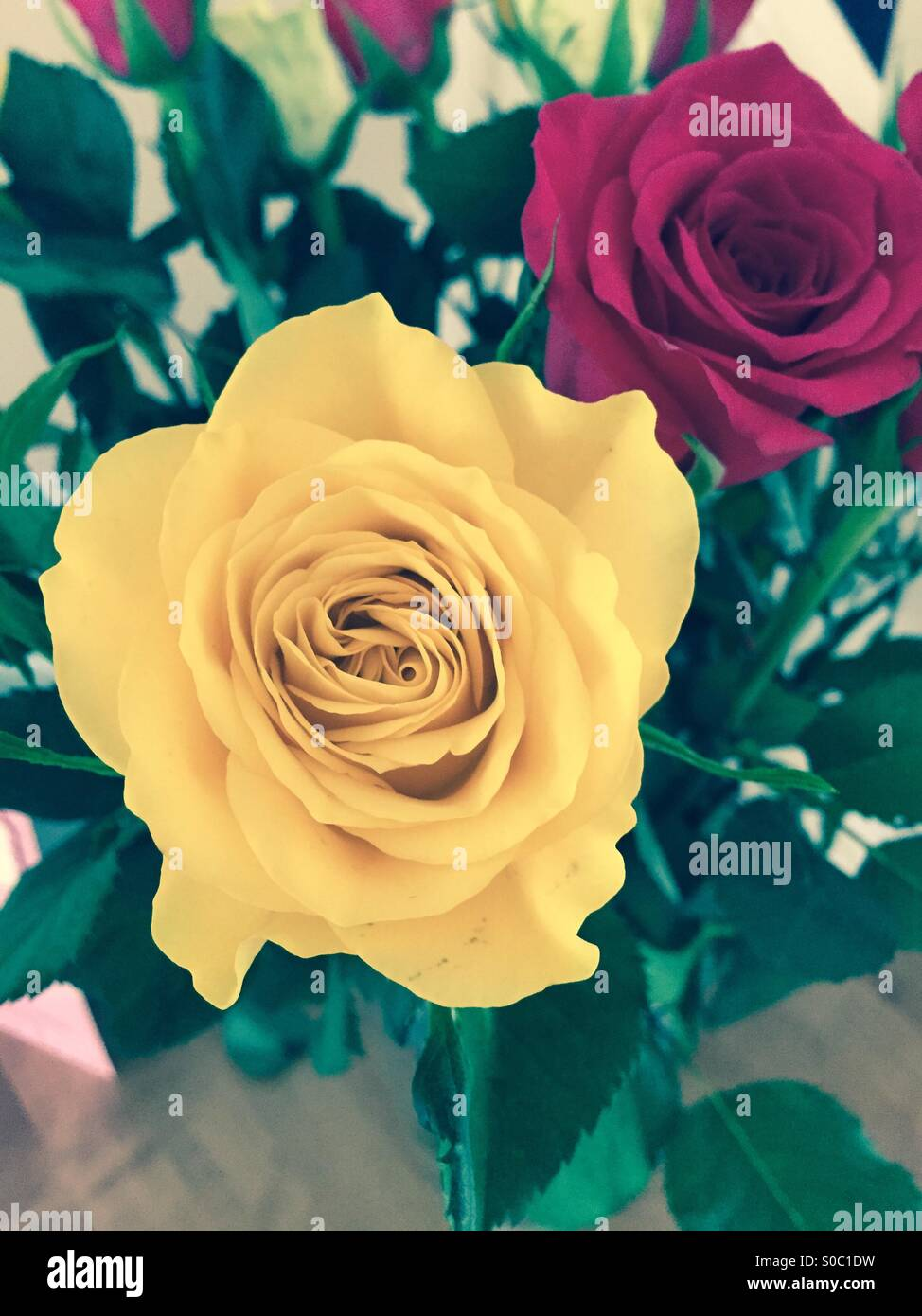 Yellow And Pink Rose Flowers Of Love And Friendship Stock Photo
