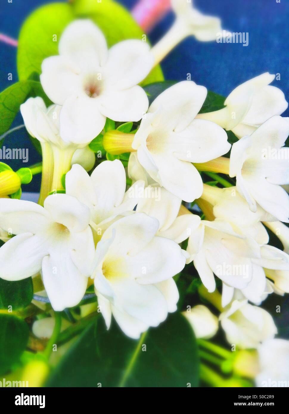 White jasmine stock photos white jasmine stock images alamy white jasmine flowers stock image izmirmasajfo