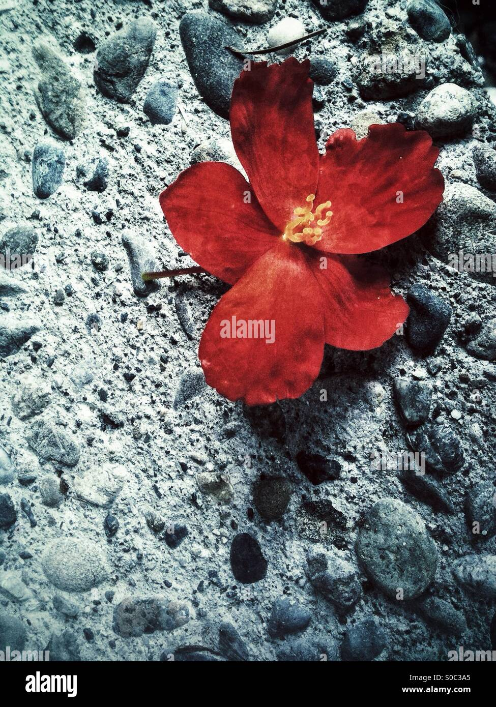 Red flower on a rocky surface - Stock Image