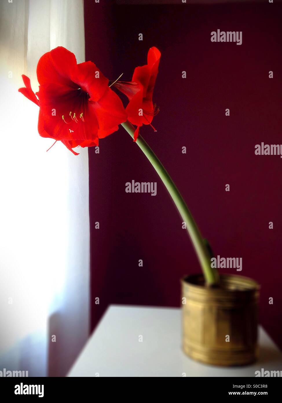 An amaryllis flower. Stock Photo