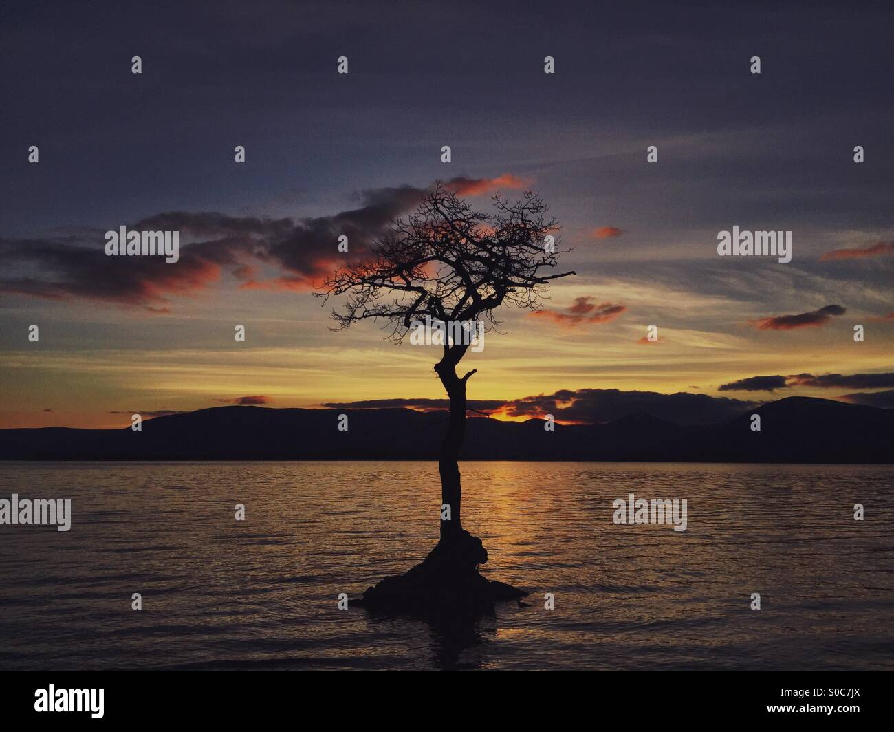 Milarrochy bay tree Loch Lomond Scotland - Stock Image