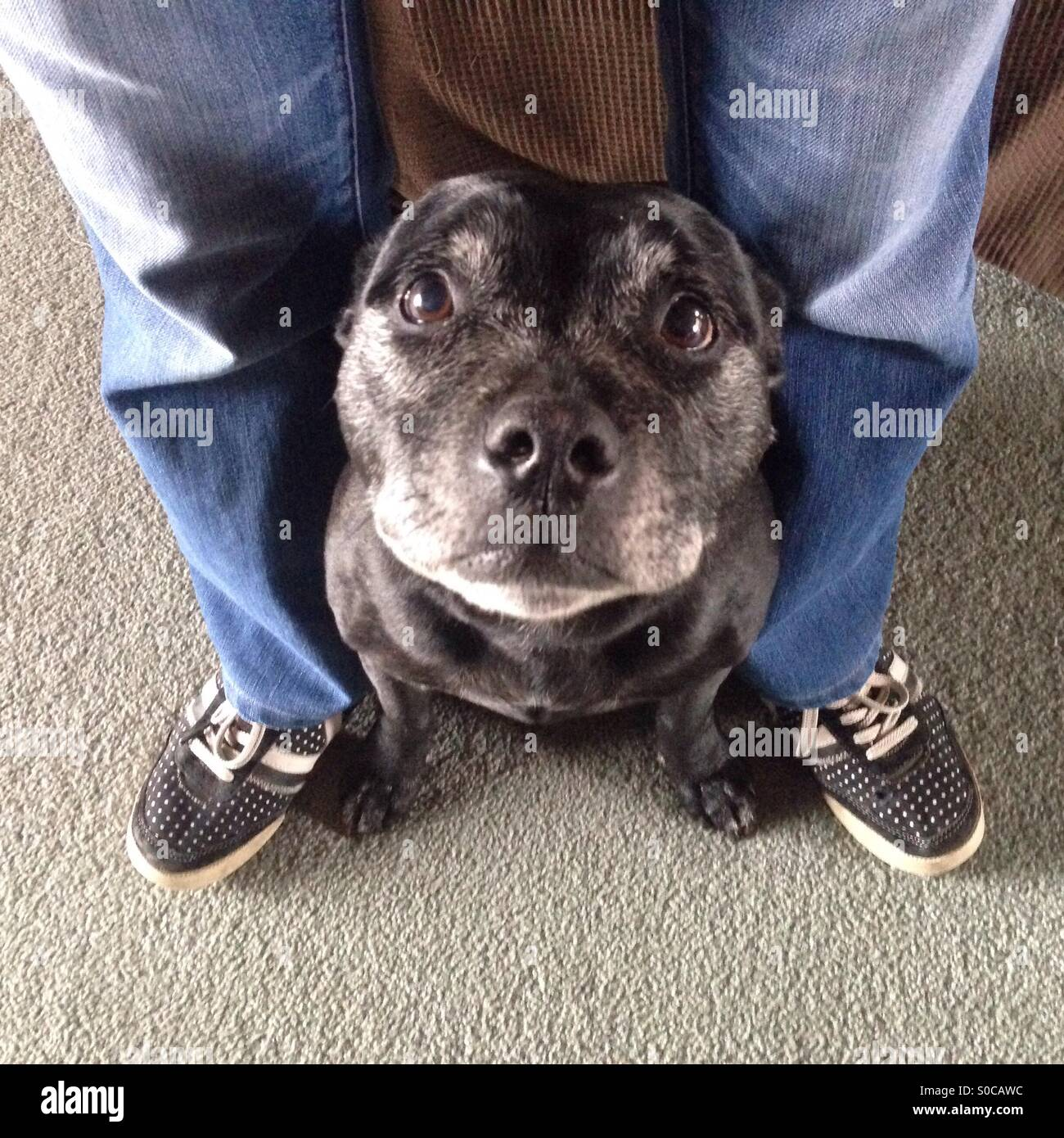 Staffordshire Terrier dog seeking shelter  in between owners legs - Stock Image
