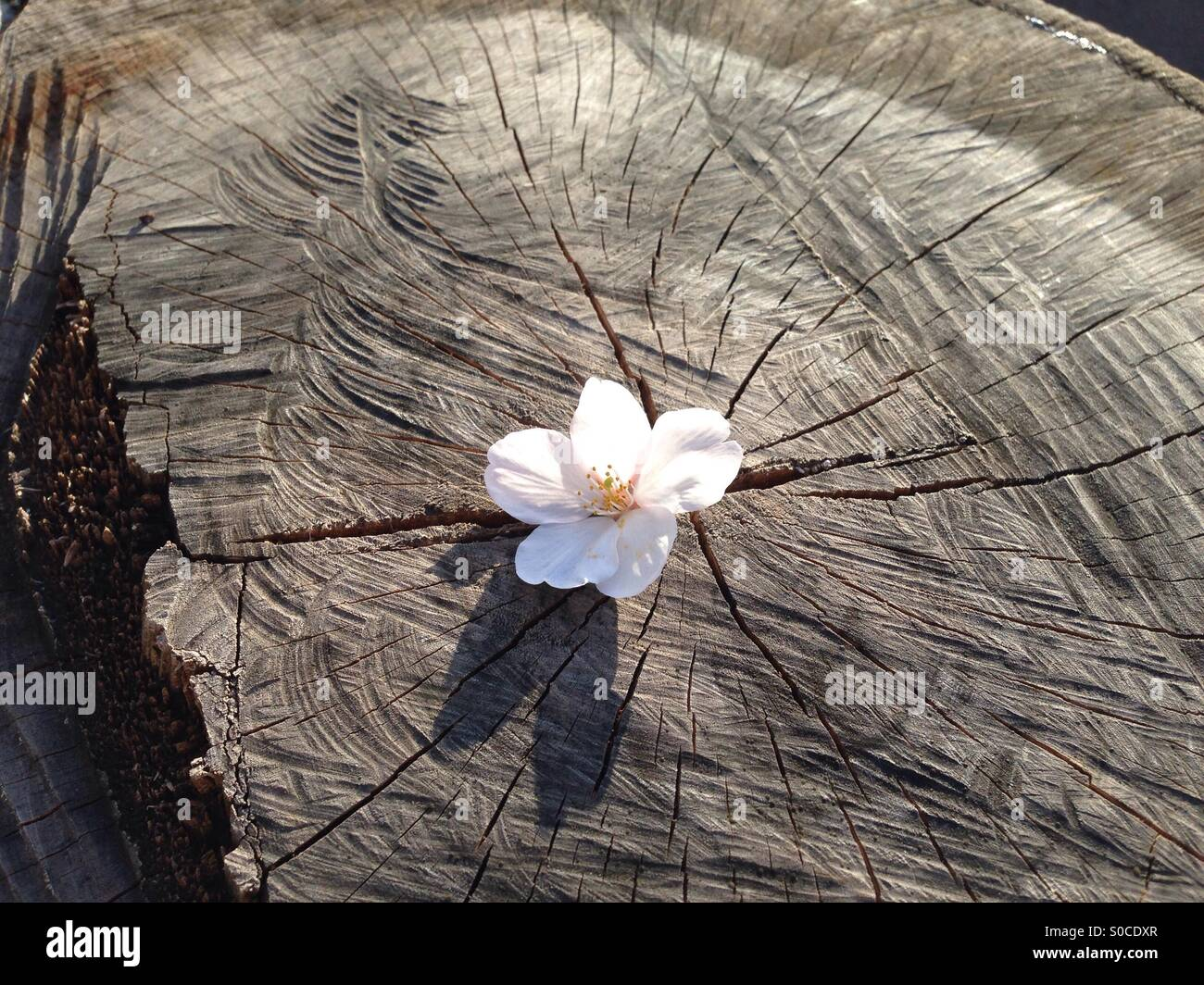 Cherry blossom fell on a cherry tree stump. - Stock Image