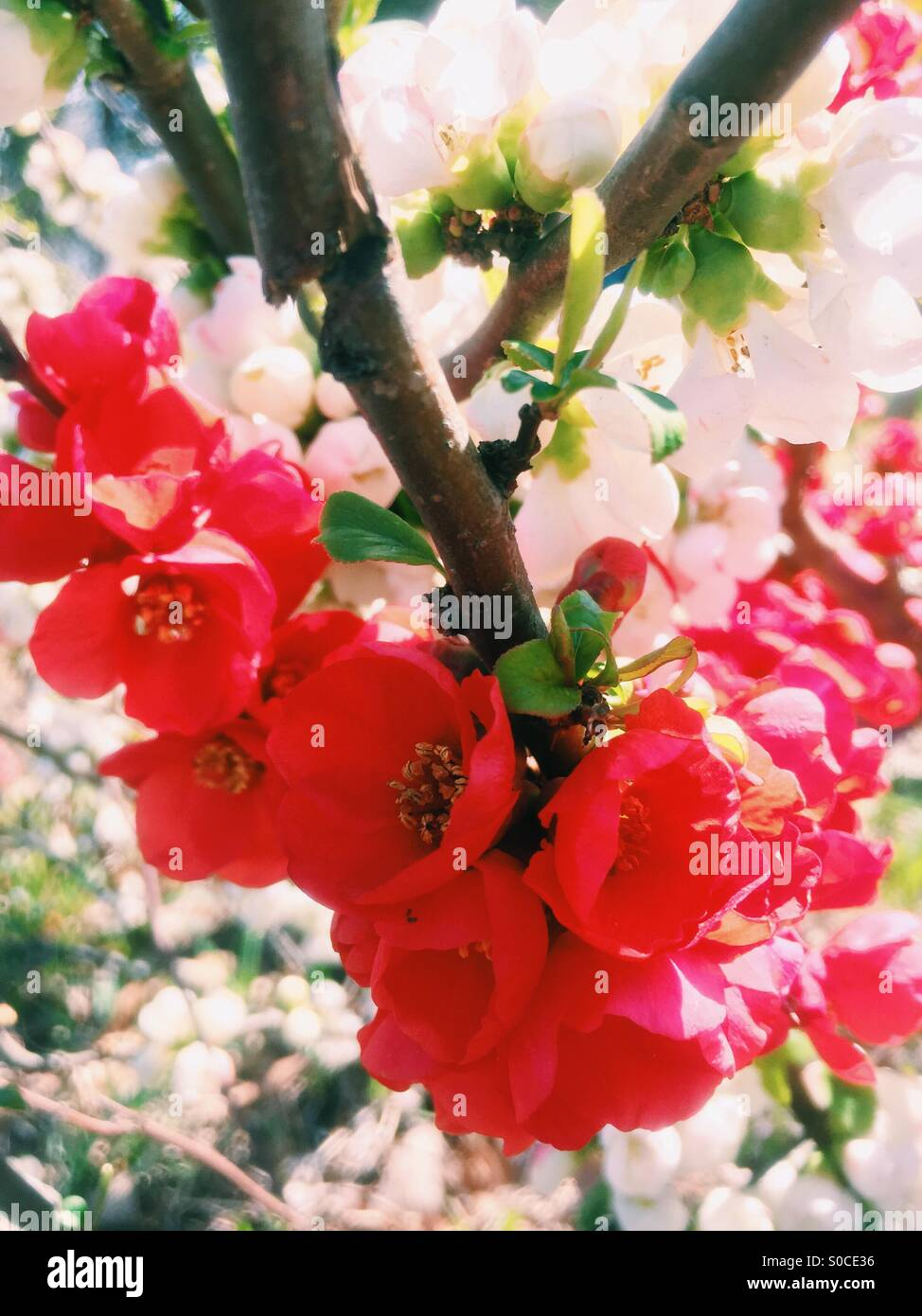 Vibrant red Bokenohana or flowering quince in Spring, with the white variety in the background. - Stock Image