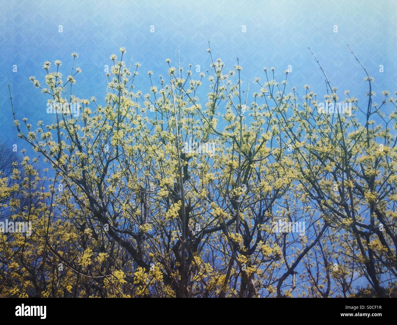 Spring scene with blue sky and yellow Cornus officinalis, a species of dogwood known also as Japanese cornel or - Stock Image