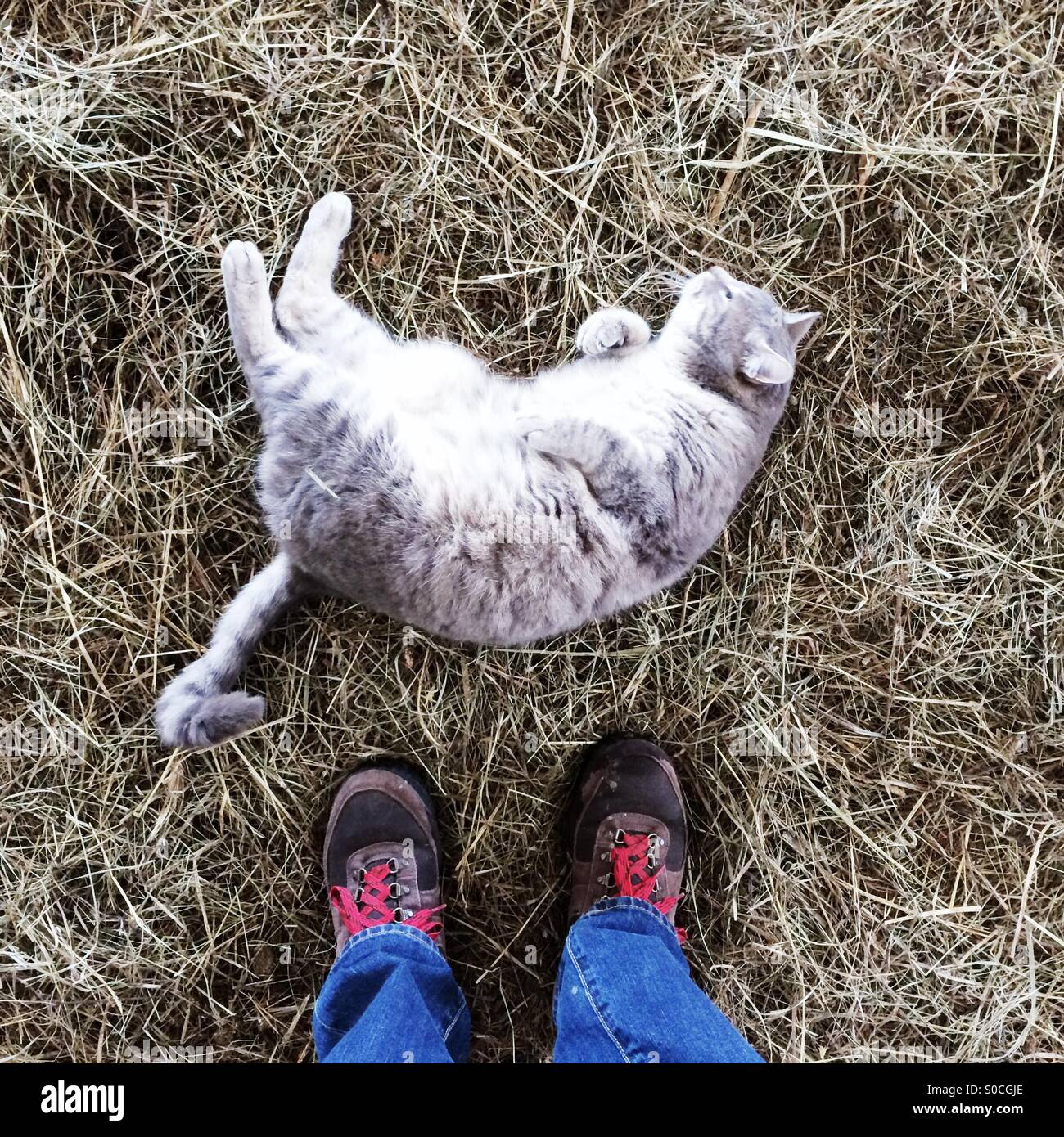 Looking down at a cat rolling around in hay on a farm in Massachusetts, USA. - Stock Image