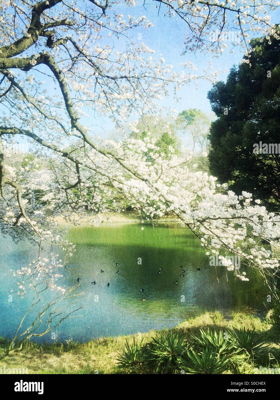 Lovely pond with ducks surrounded by white cherry blossoms. Vintage, painterly textures overlay for a fresh Spring - Stock Image