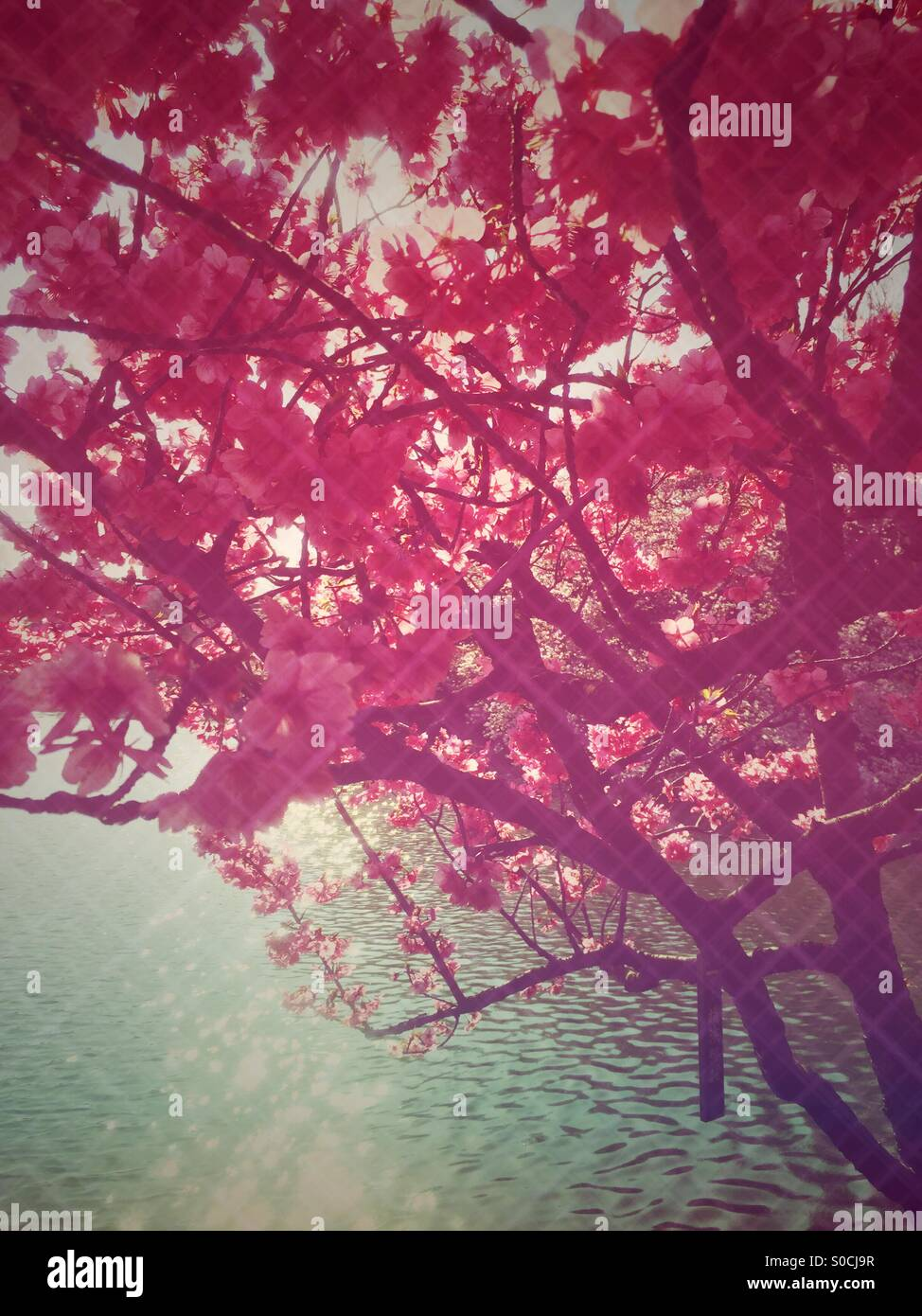 Pond with sunshine sparkling on the water surface, with backlit sakura or cherry blossom in a deep pink color. Diamond - Stock Image
