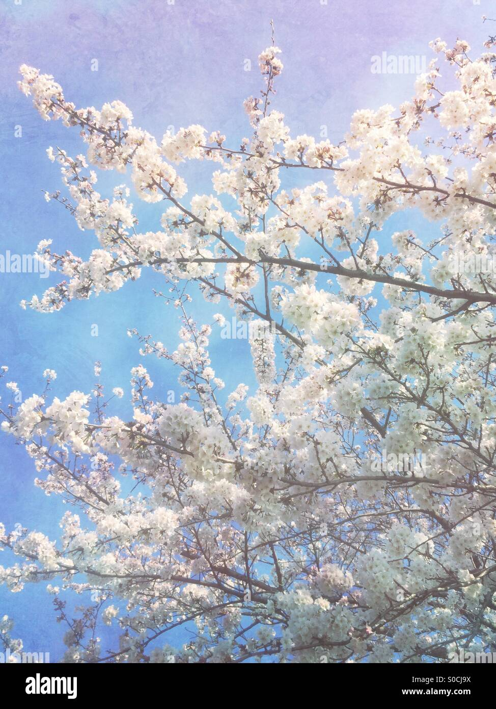 Beautiful white sakura or cherry blossoms in Spring, with soft blue sky and vintage paper texture overlay with hints - Stock Image