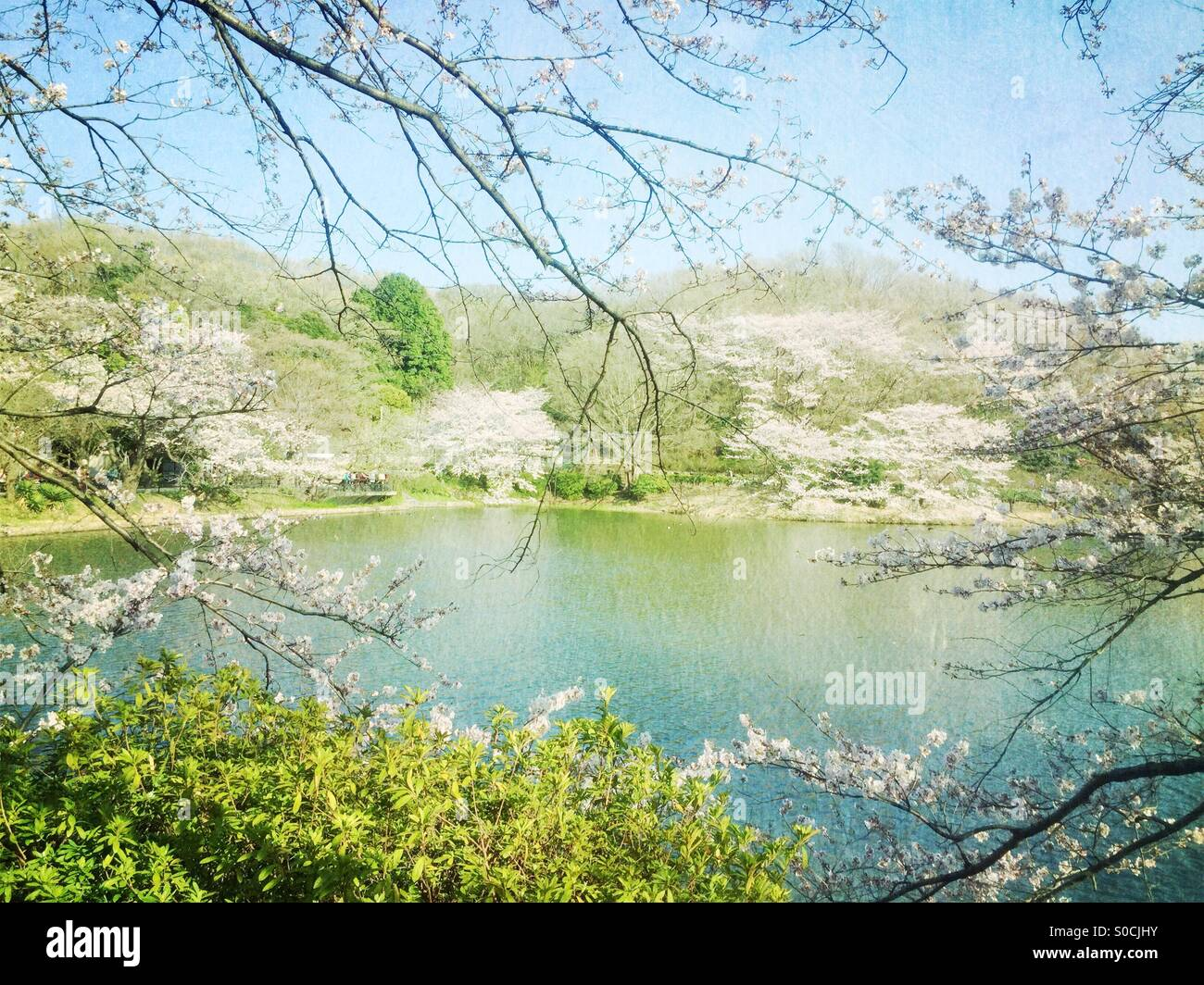 Lovely pond surrounded by white and light pink cherry blossoms. Vintage, painterly textures overlay for a fresh - Stock Image