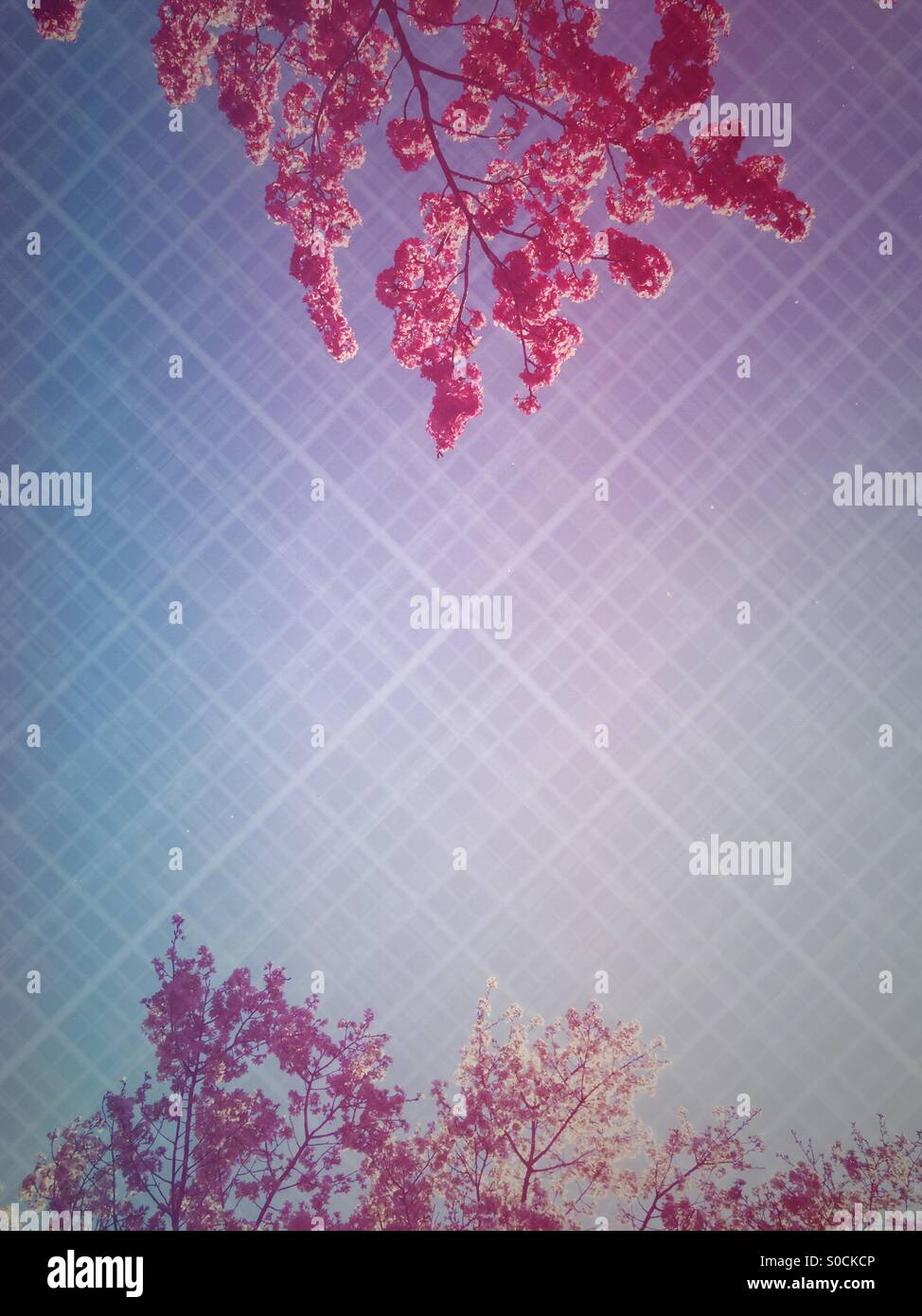 Two varieties of backlit sakura or cherry blossom in a deep pink and light pink color. Diamond knit pattern overlay. - Stock Image