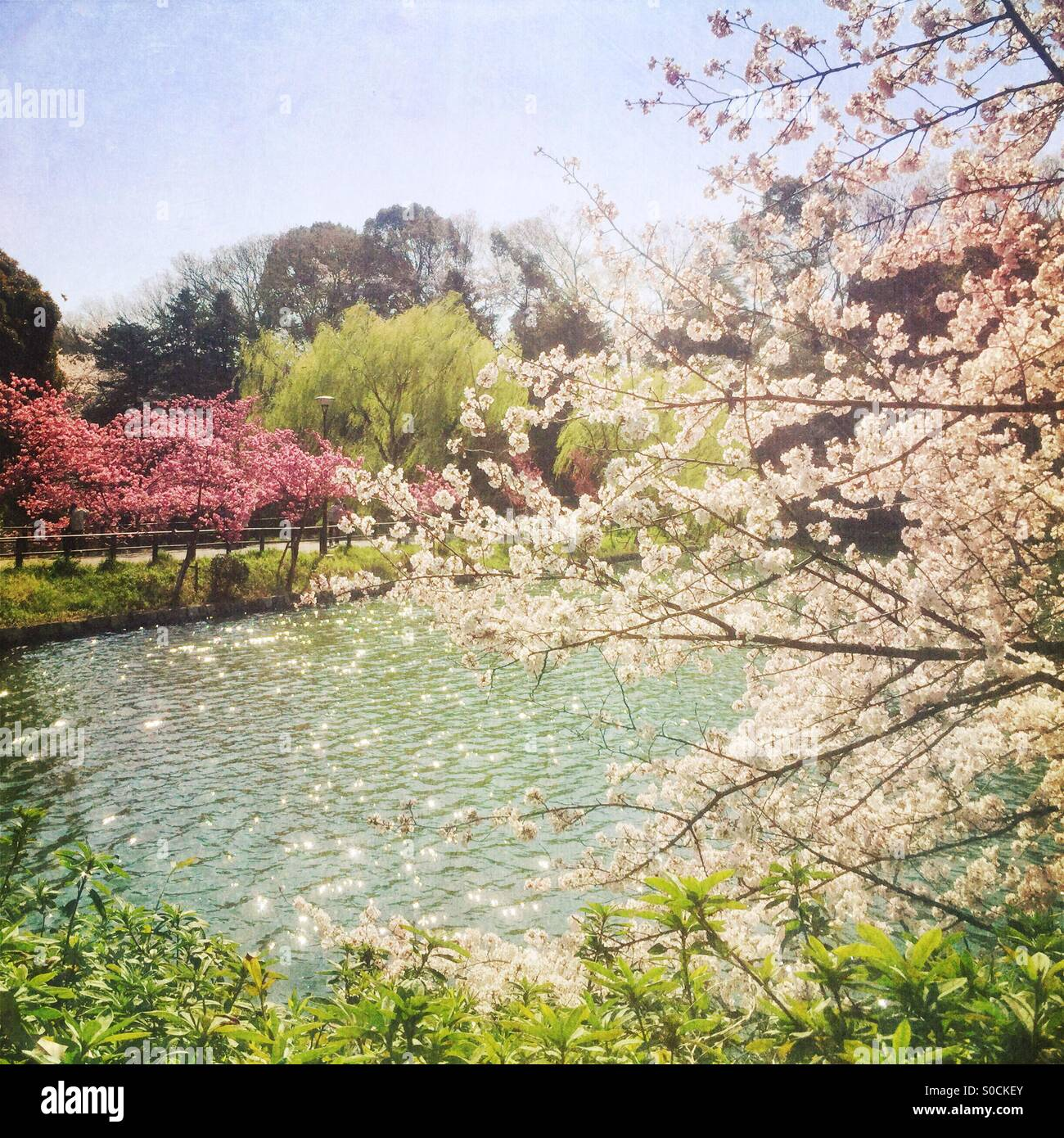 Pond with sunshine sparkling on the water surface, with sakura or cherry blossom in white and pink hues, and willow - Stock Image