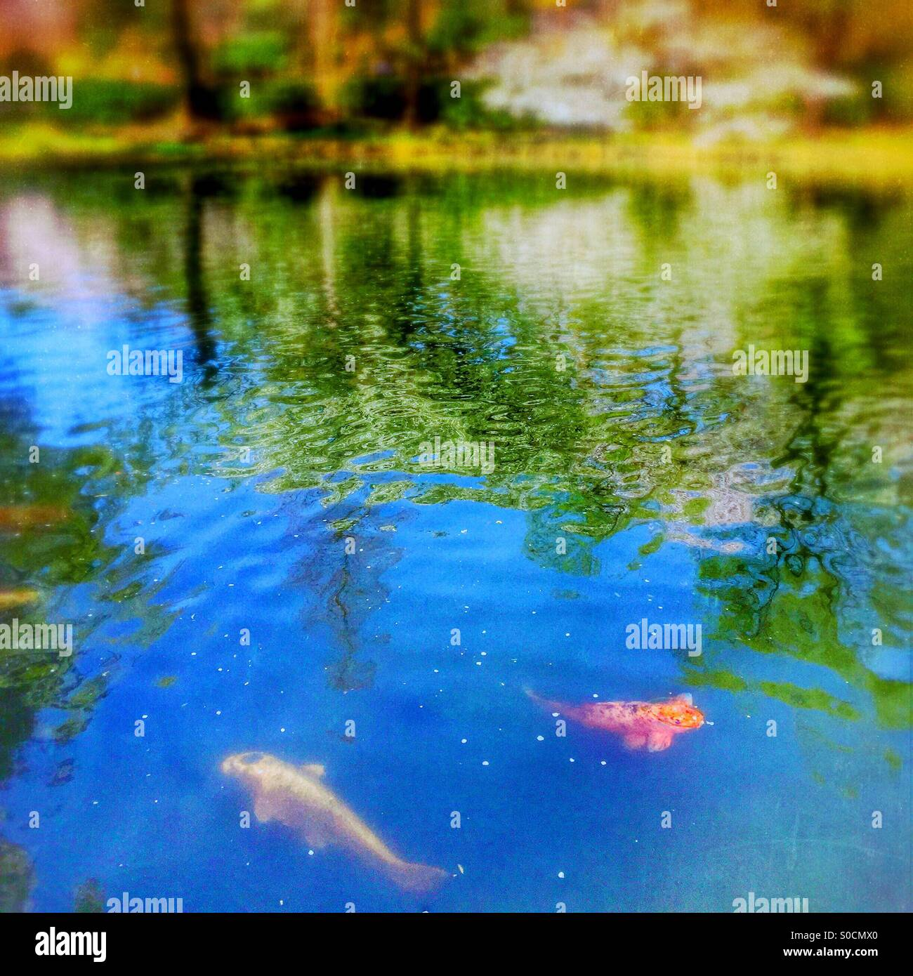 Yellow and orange Japanese koi fish swimming in pond with cherry blossom petals scattered on water surface. Willow - Stock Image