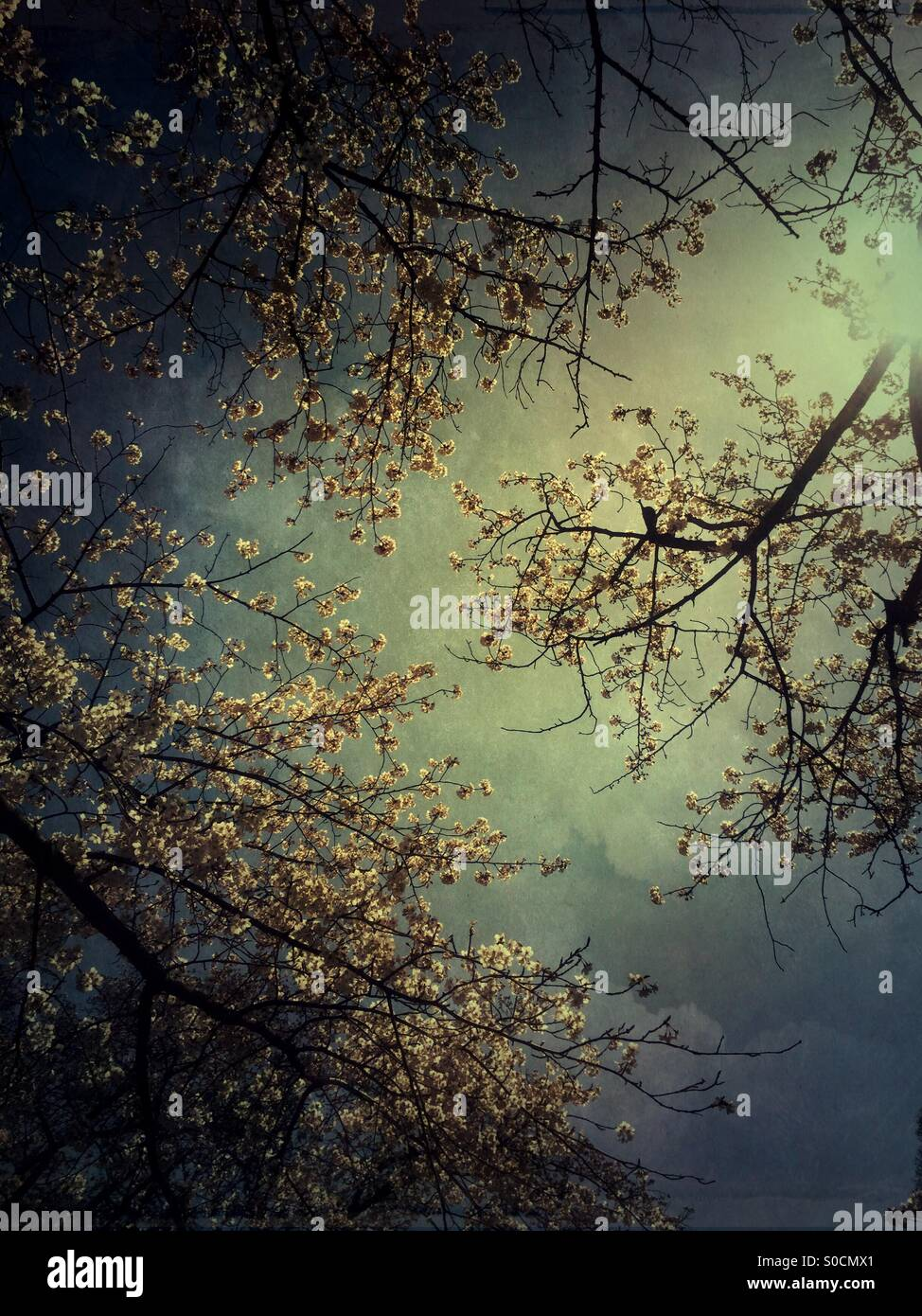 Dramatic white cherry blossom branches under dark stormy clouds parting to reveal a touch of sunlight. Vintage paper - Stock Image