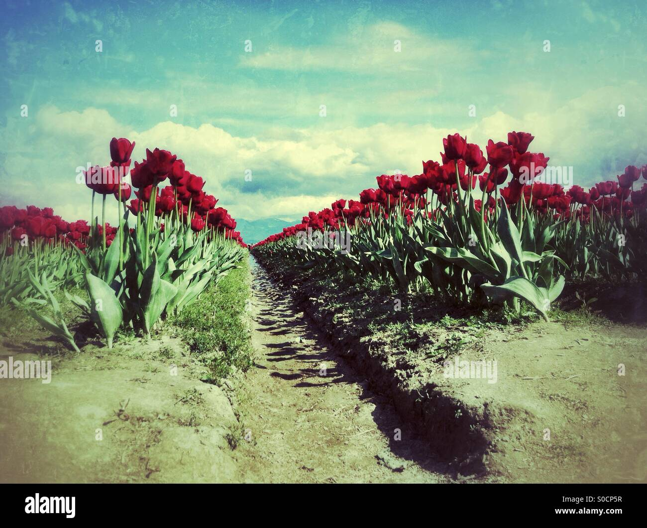 tore of tulips central perspective on a sunny day - Stock Image