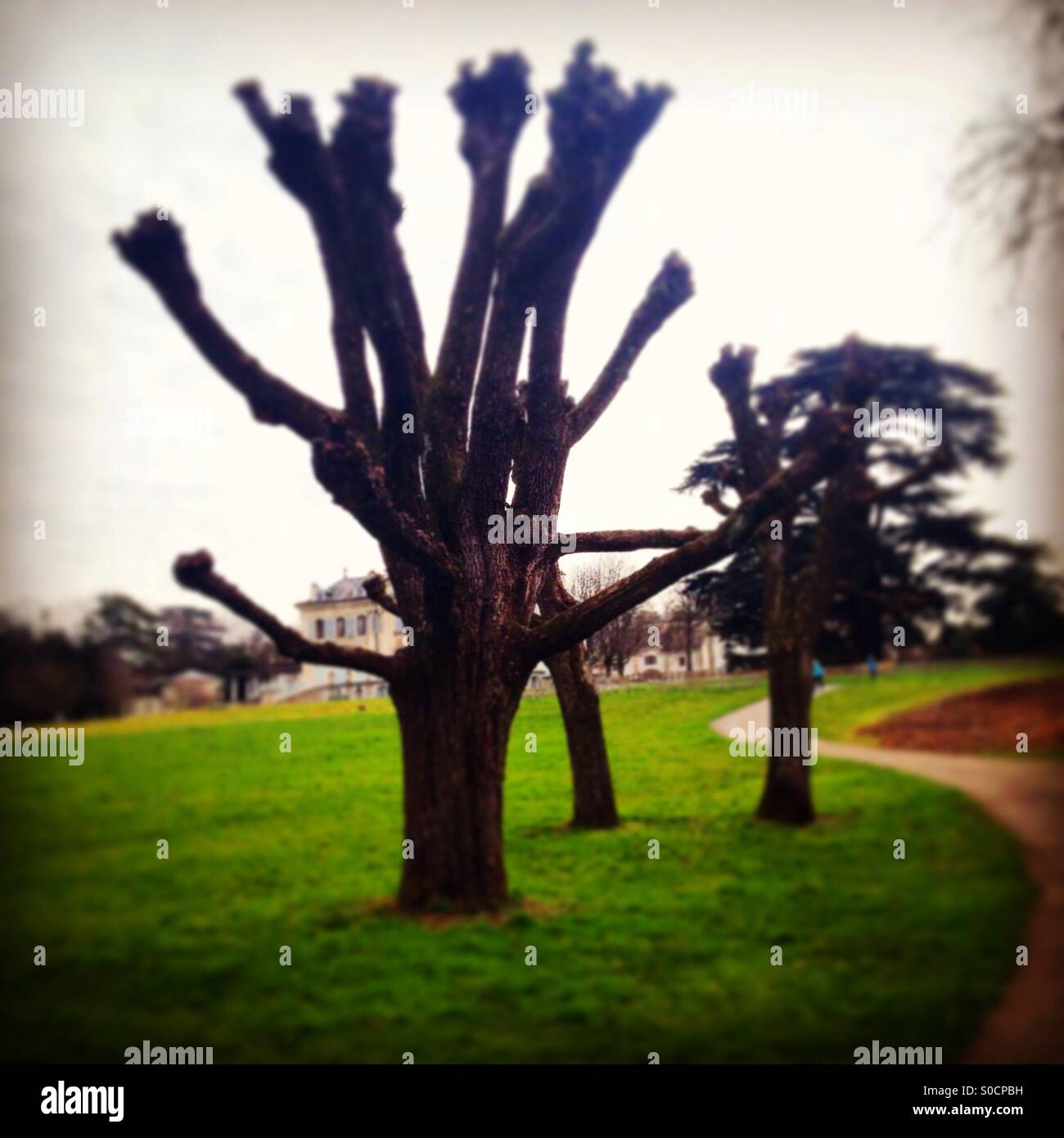 Leafless tree in park. - Stock Image