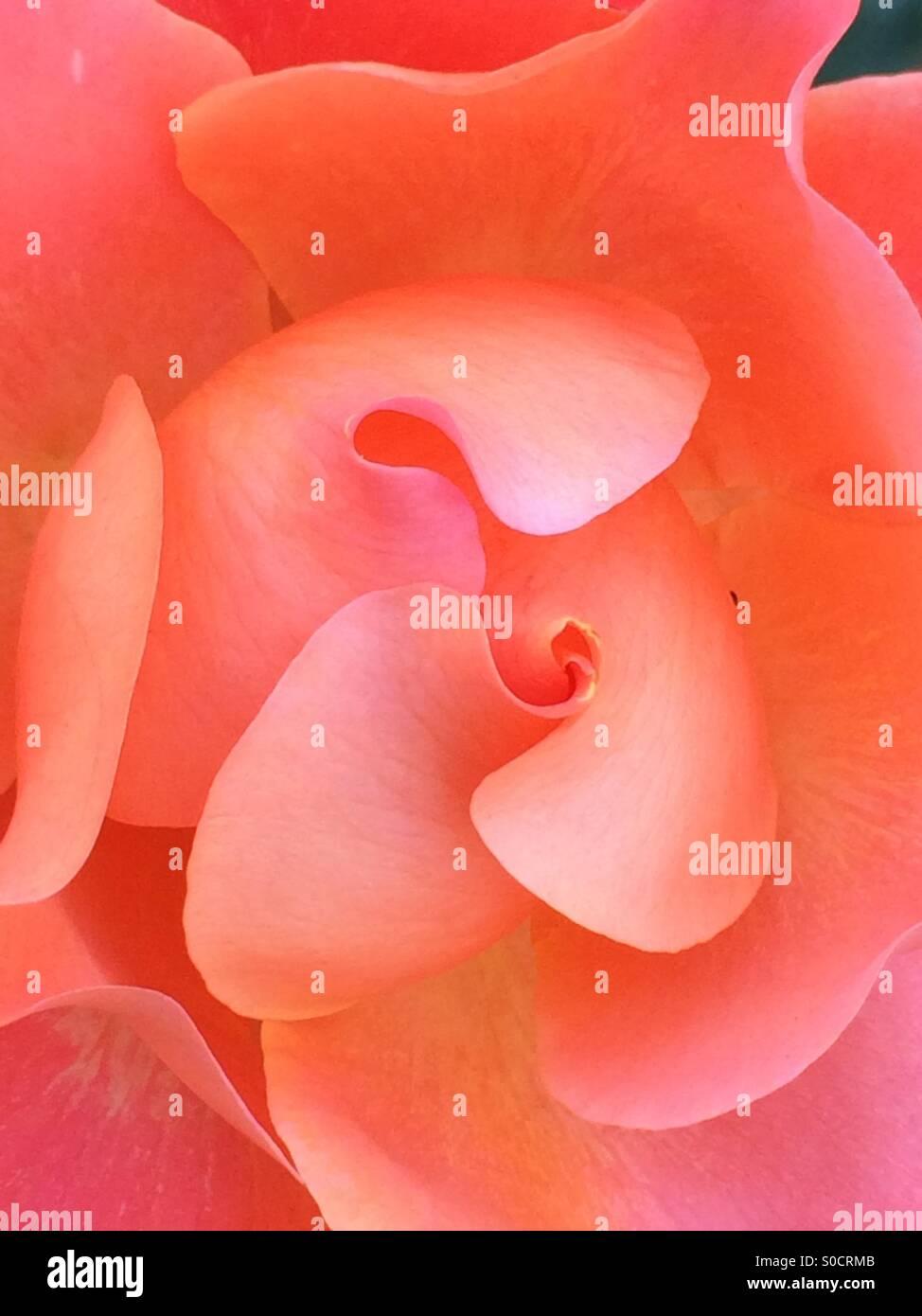Fold of petal - Stock Image