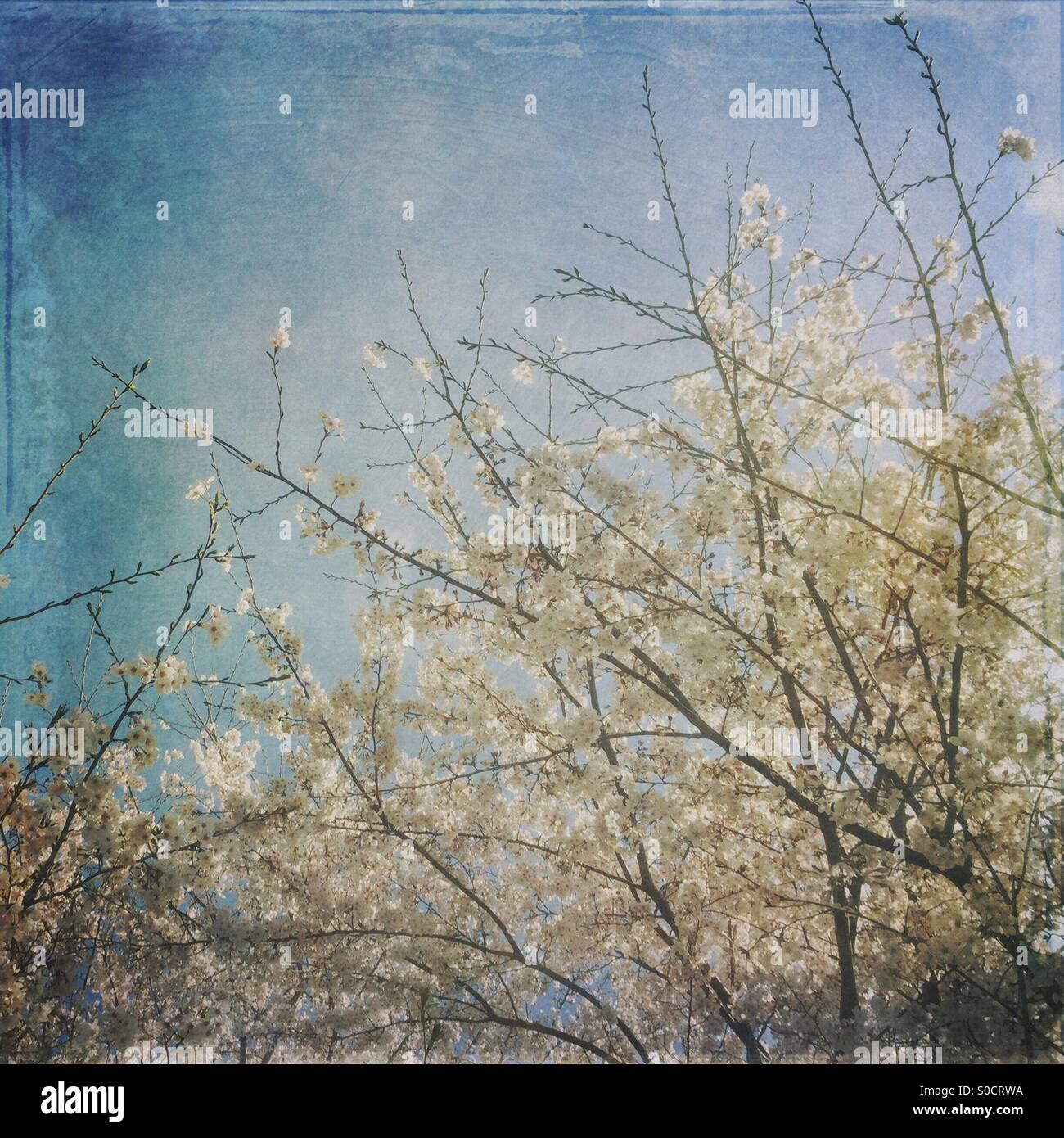 Beautiful white sakura or cherry blossoms in Spring, with vintage, painterly texture overlay. - Stock Image