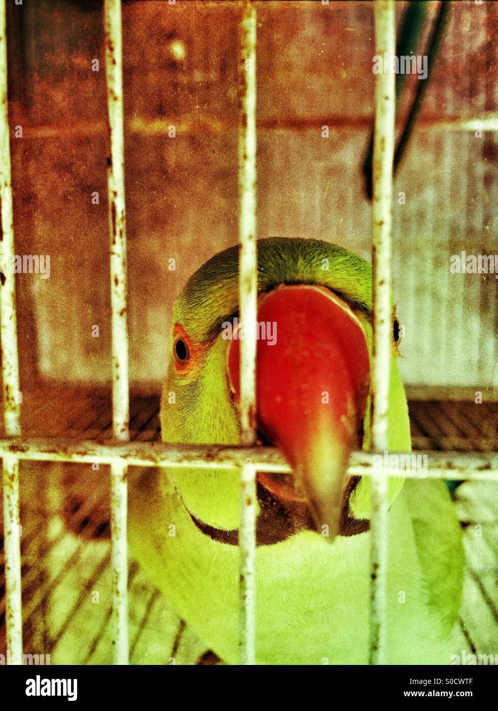 Parrot with red beak biting cage bars in Kharian Pakistan - Stock Image