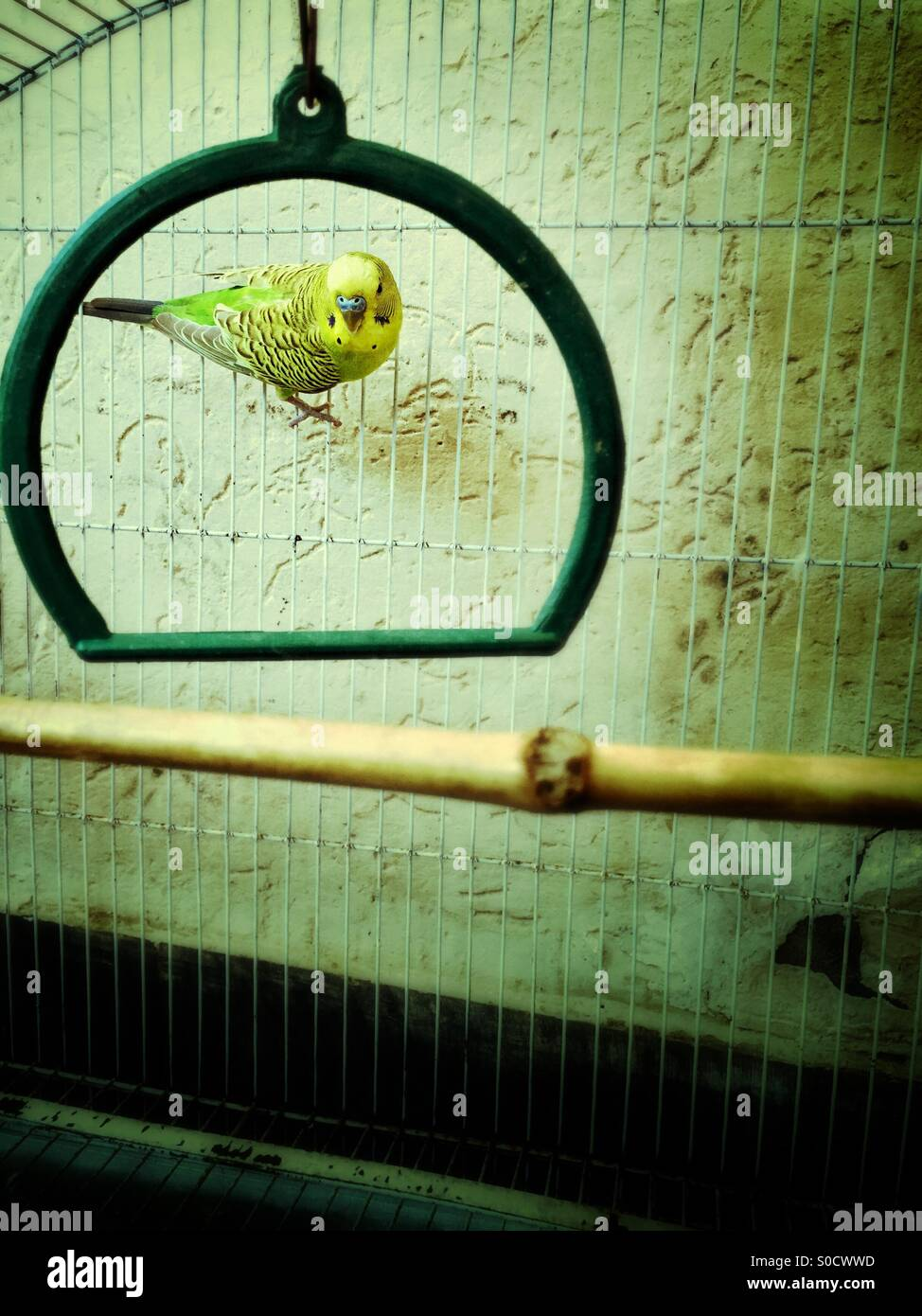 Yellow and green lovebird inside a cage - Stock Image