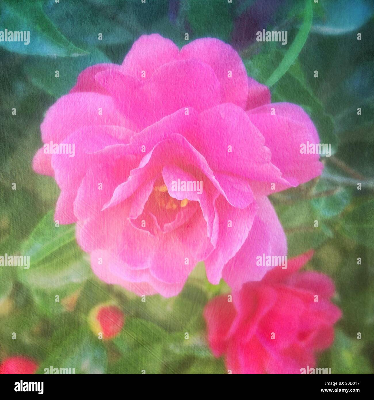 Pretty, pink camellia flower in Spring, with vintage painterly texture overlay. - Stock Image