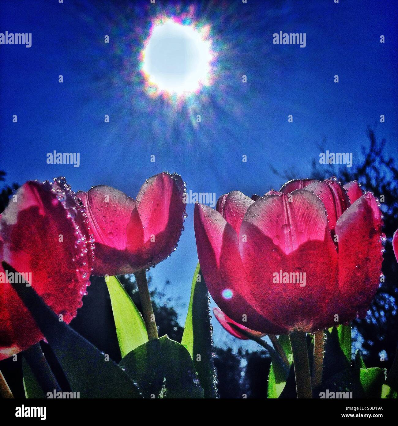 Sunshine and tulips - Stock Image