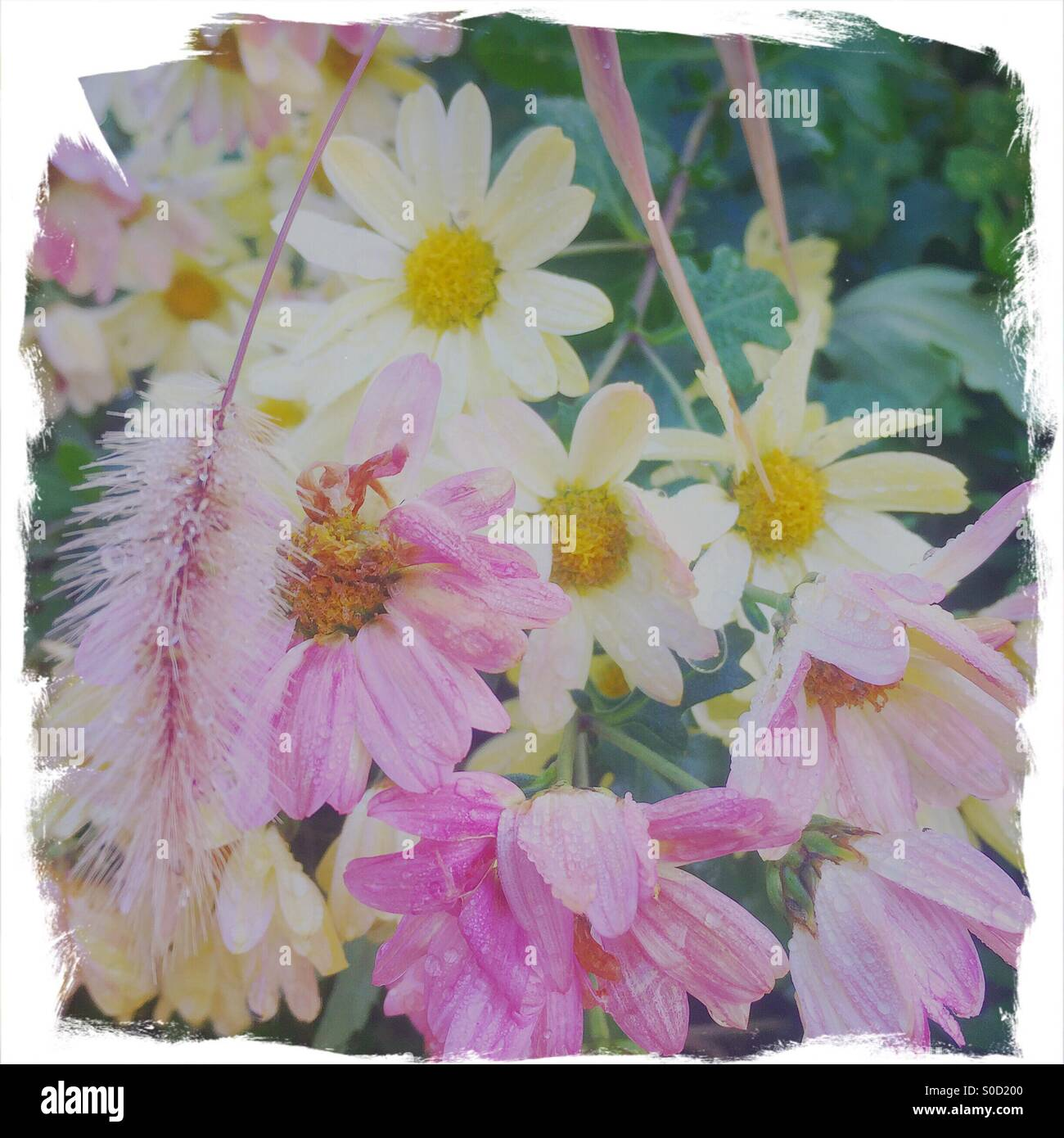 Pretty pink and yellow daisies with morning dew on petals. Painterly, rough-edged white frame and vintage paperStock Photo