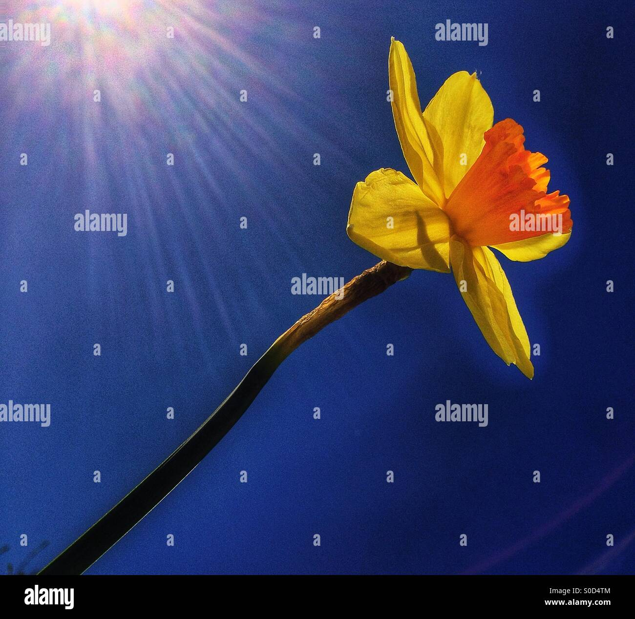 Single yellow daffodil, blue sky - Stock Image