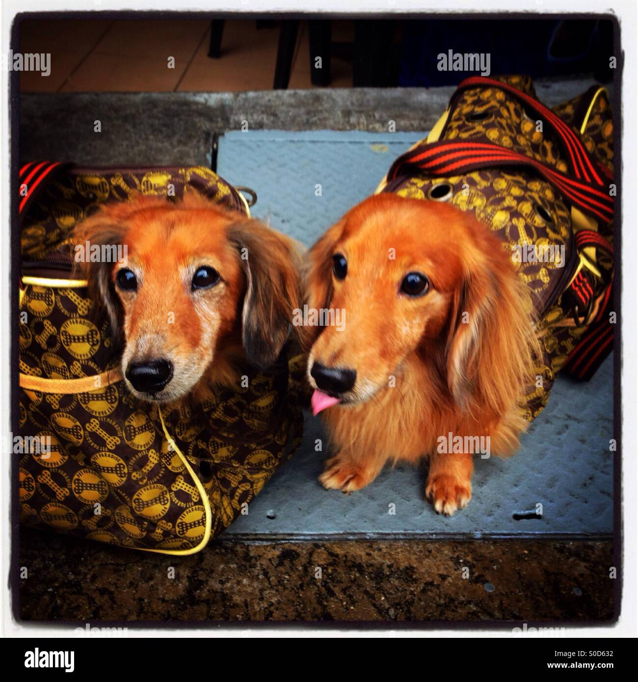 Two pet dogs being carried in luxury handbags in Singapore Stock Photo