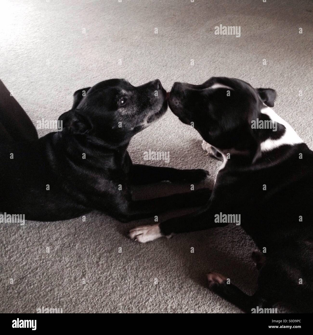 American Staffordshire Terriers kissing - Stock Image