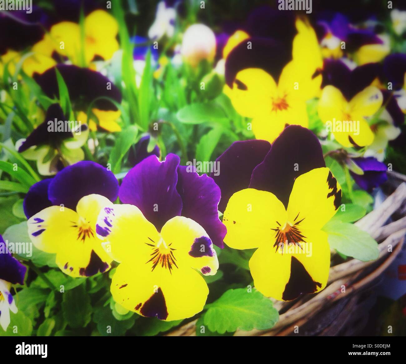 Yellow And Purple Pansy Stock Photos Yellow And Purple Pansy Stock