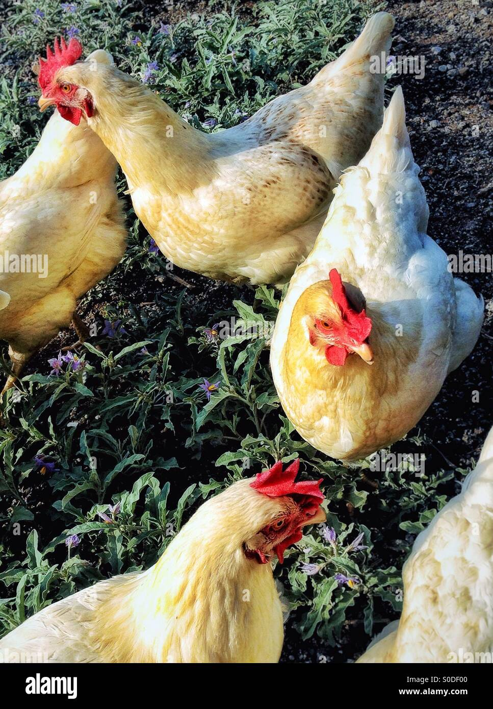 Hens in Yard - Stock Image