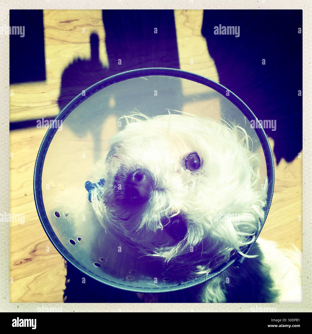 Small white dog looking up wearing the 'cone of shame' - Stock Image