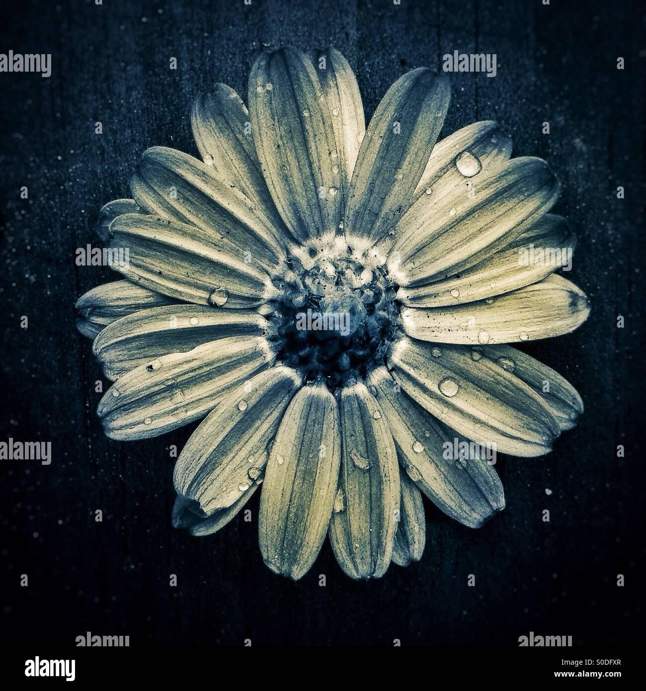 Daisy backwards flower - Stock Image