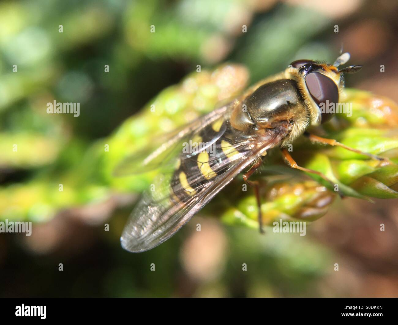 Hover fly on a bush branch Stock Photo