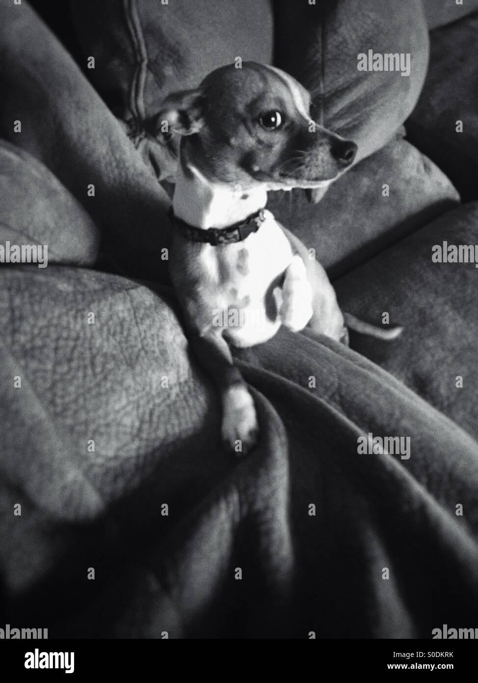 lapdog on a big sofa - Stock Image