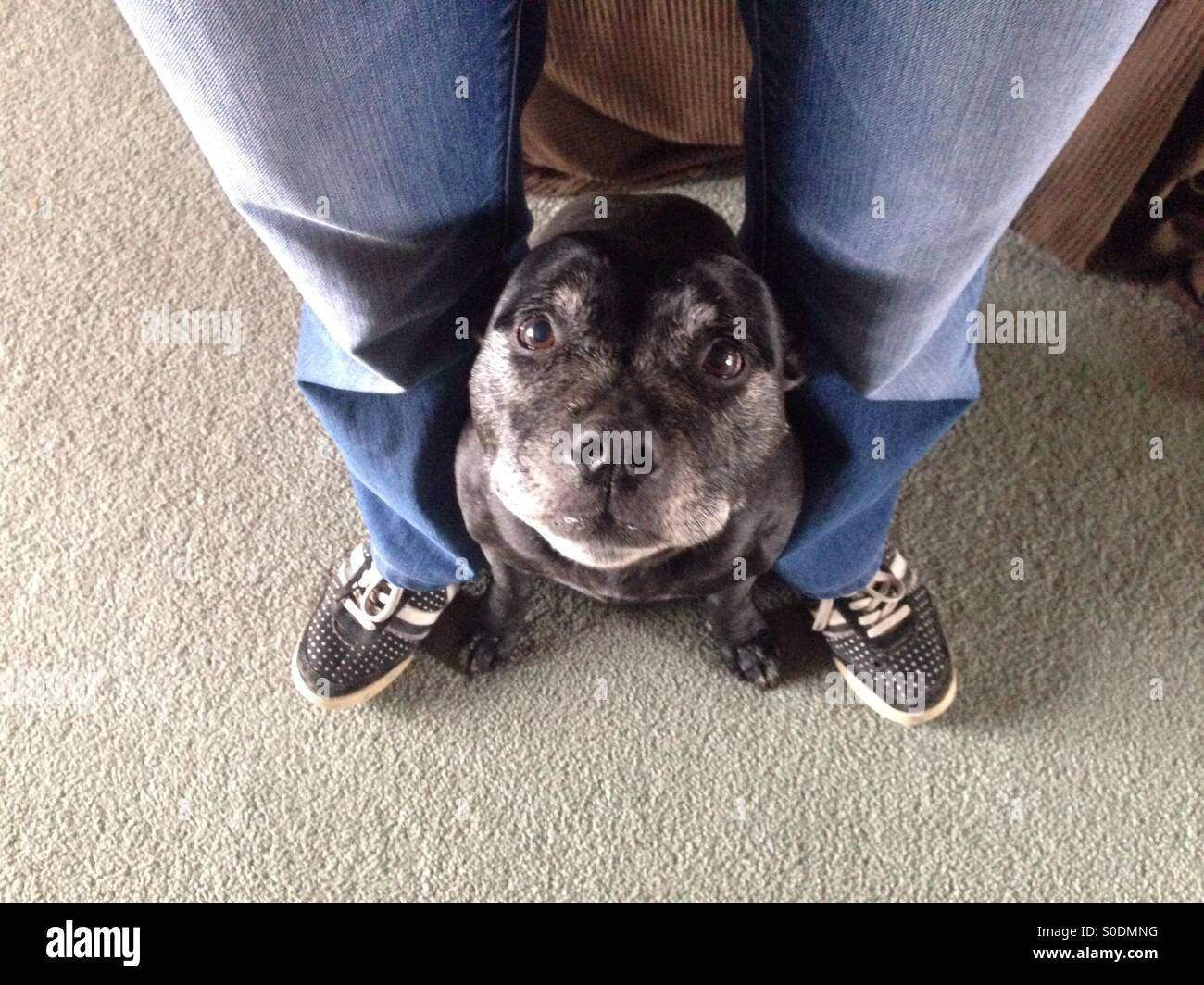 Staffordshire Terrier dog in between owners legs - Stock Image