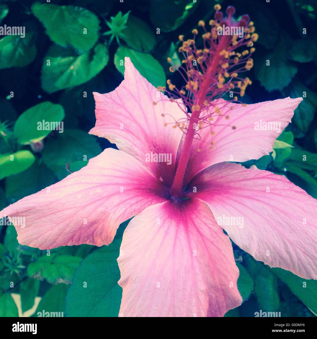 Pink Hibiscus Flower In Bloom Stock Photo 310088442 Alamy
