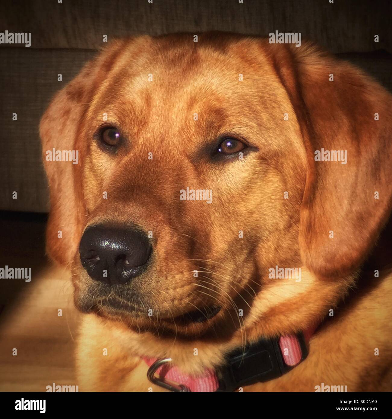 Portrait of the family dog - Stock Image