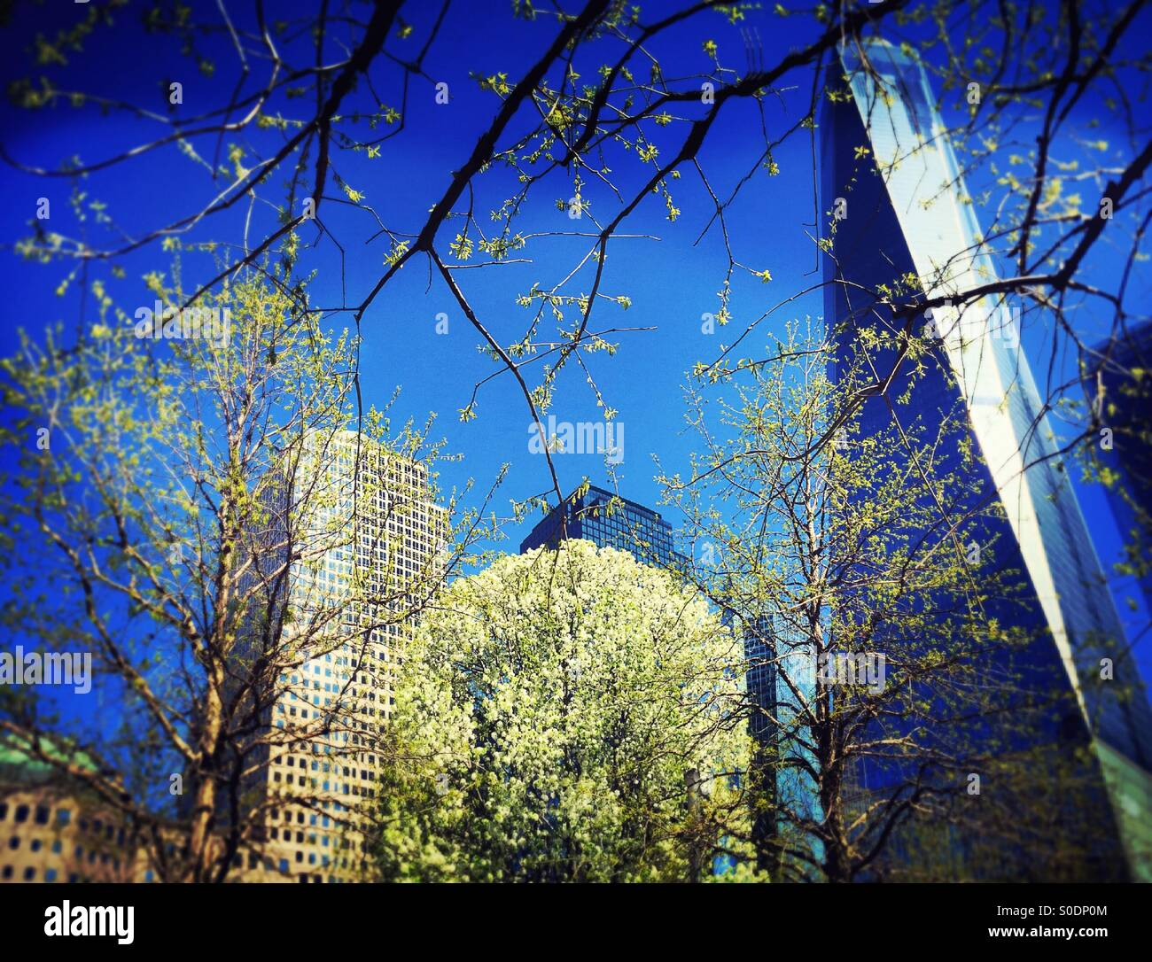 Survivor Tree and Freedom tower,NYC - Stock Image