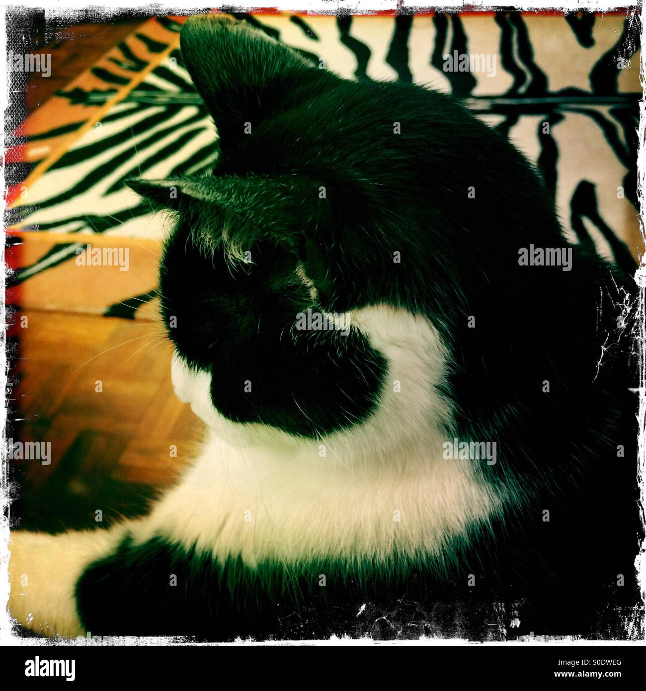 Black and white cat and black and white rug. - Stock Image