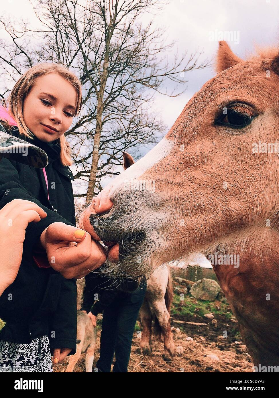 Foal licks on a girls hand - Stock Image