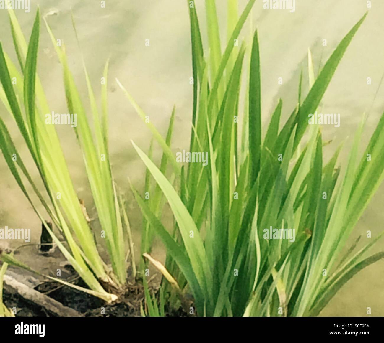 Blades of grass growing at the edge of the pond - Stock Image