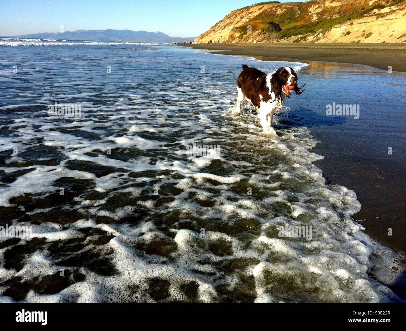 English Springer Spaniel girl proudly retrieves her ball in the Pacific shore break - Stock Image
