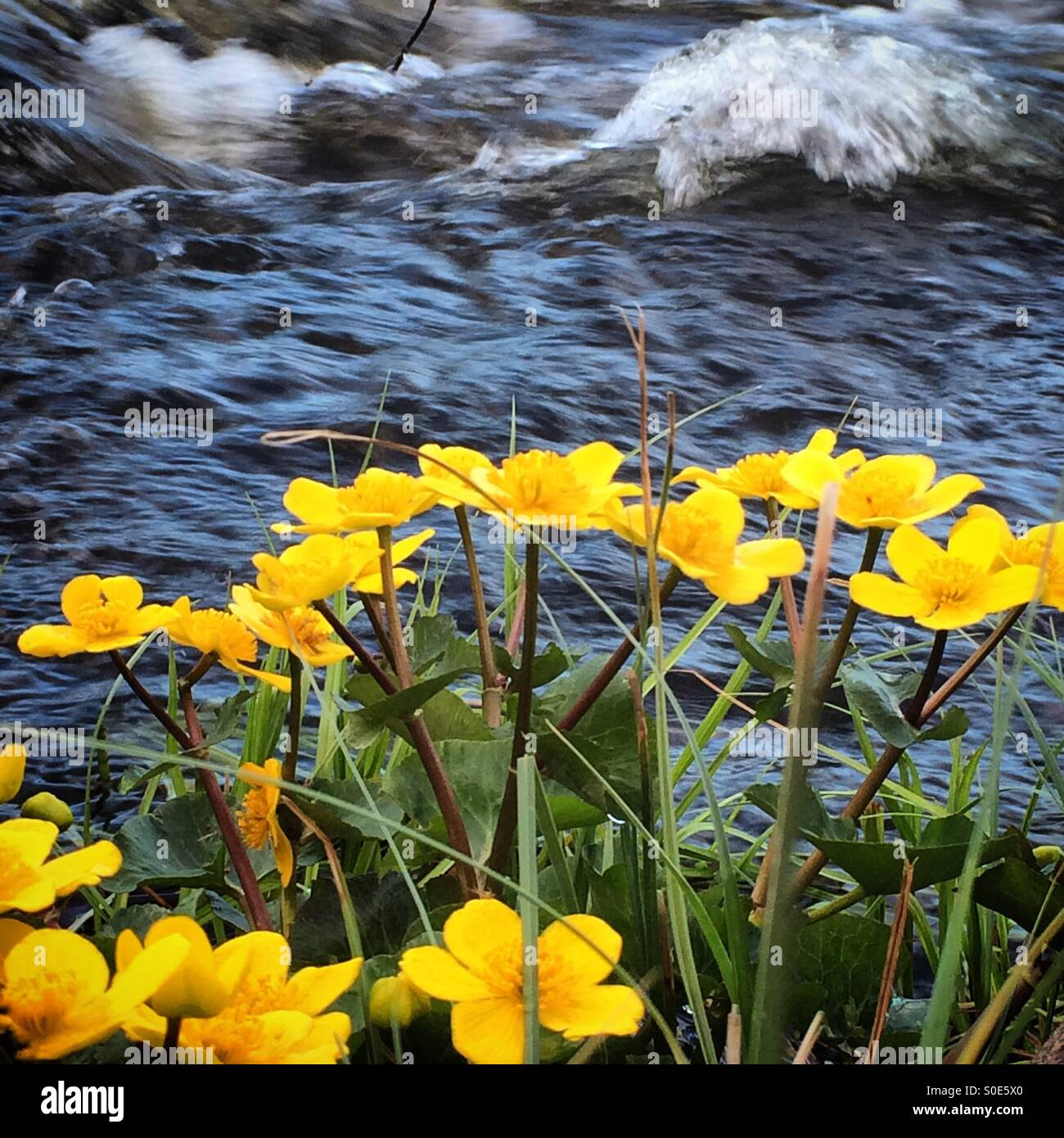 Yellow flowers in Dalarna, Sweden - Stock Image