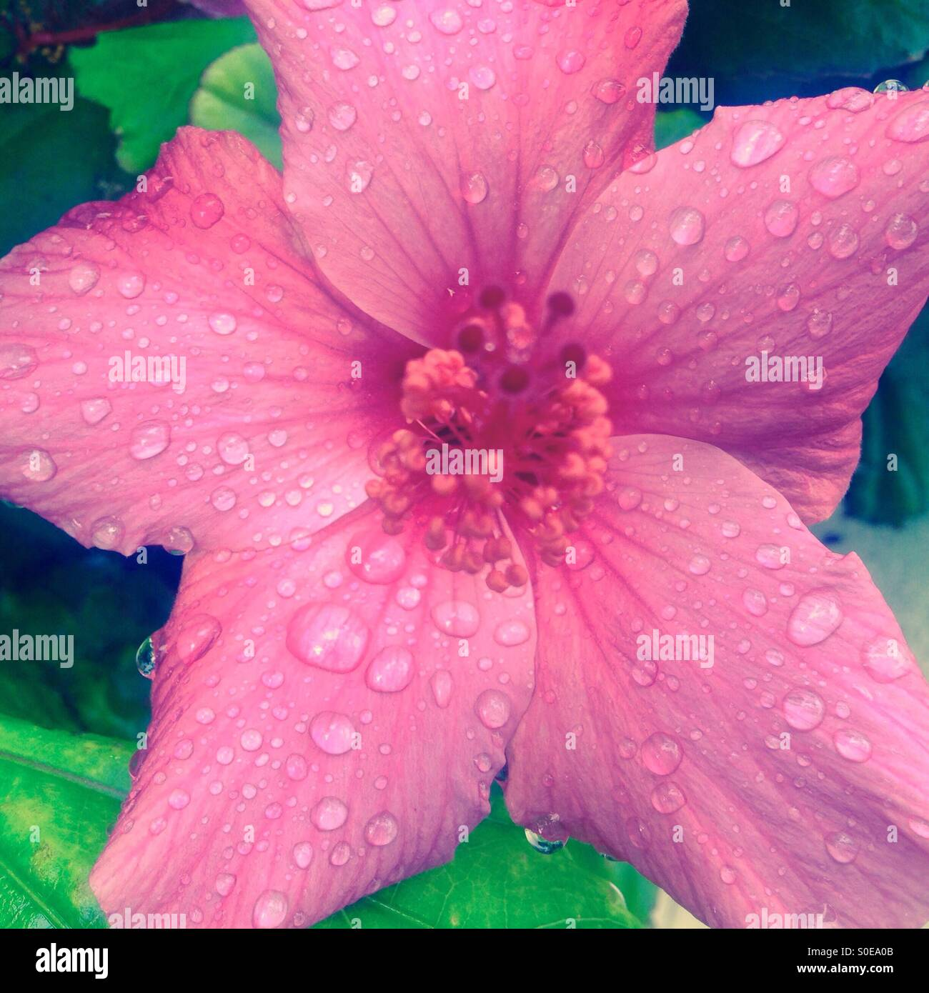 Hibiscus flower with rain droplets - Stock Image
