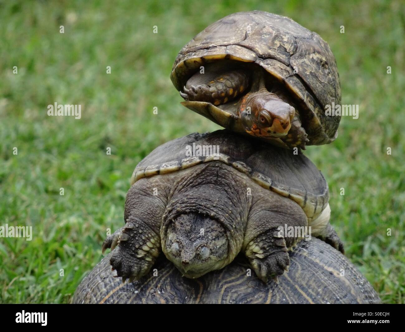 Box turtle on top of alligator snapping turtle Stock Photo
