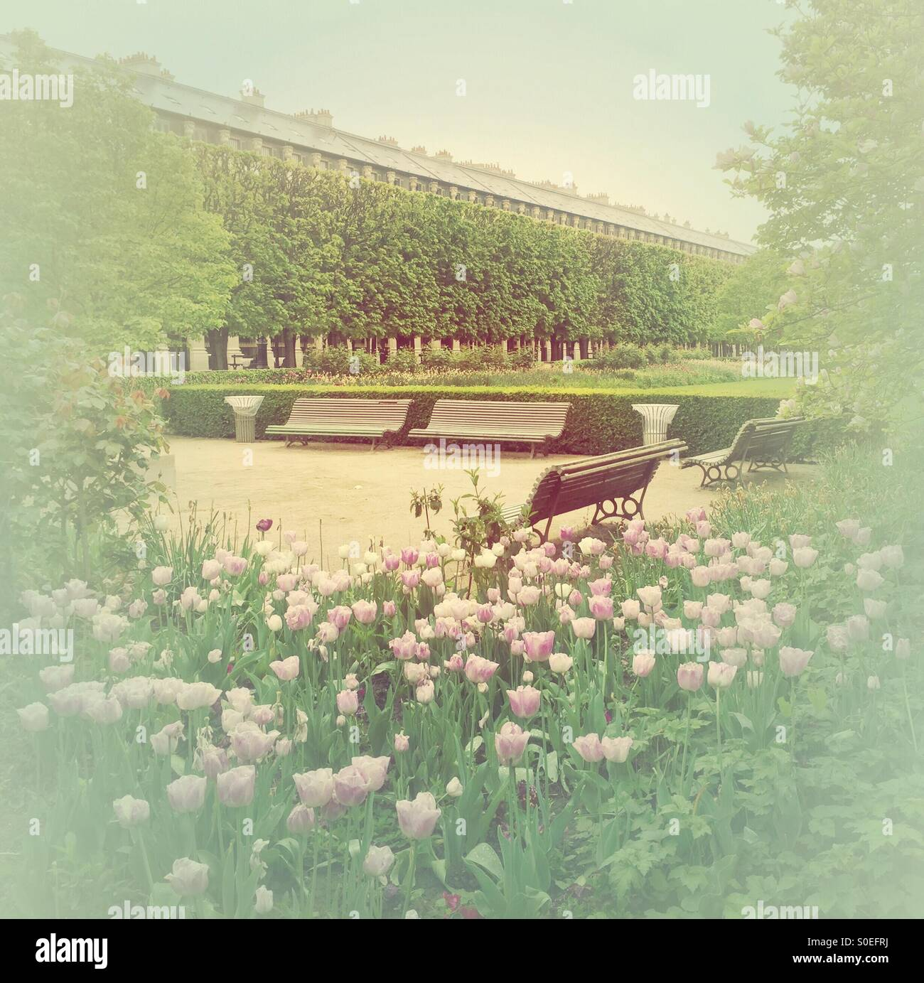 Pink tulips and benches at park Jardin du Palais-Royal in Paris, France. Warm, retro, faded look. Stock Photo