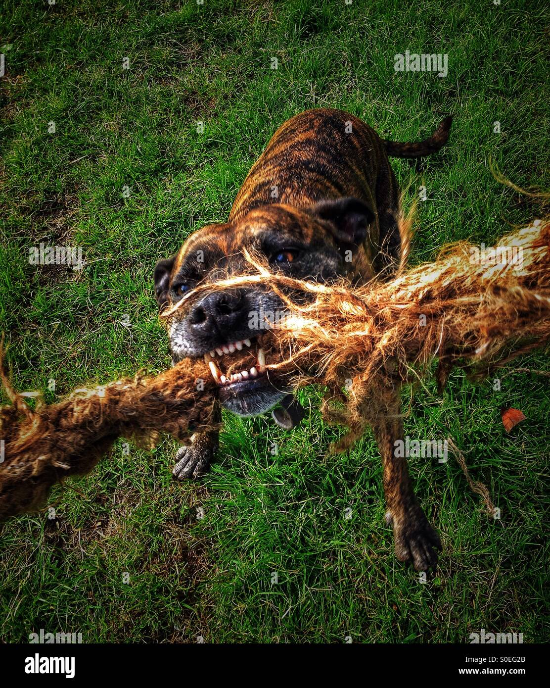 Staffordshire Bull Terrier holding on to a rope - Stock Image