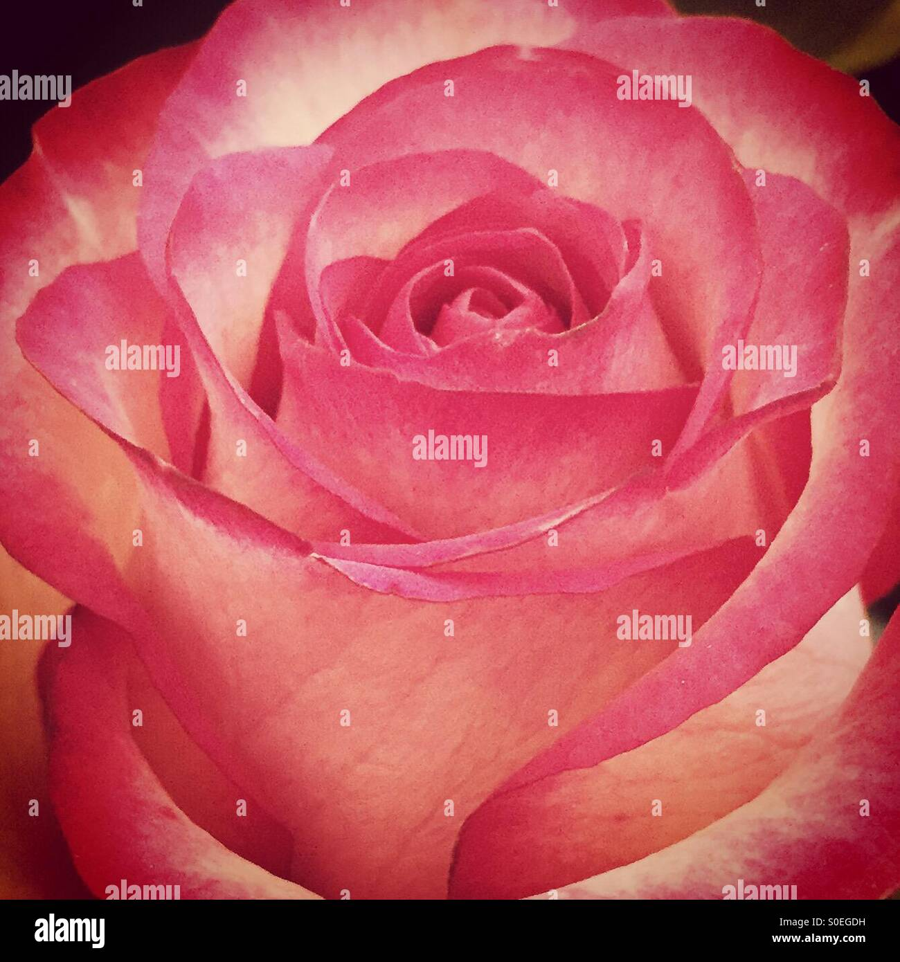 Close up of a pink and cream rose in bloom - love and beauty. - Stock Image